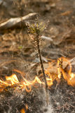 Pine sprout in bushfire Stock Photos