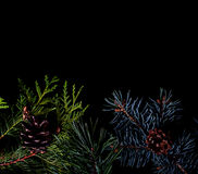 Pine and spruce branches on dark black background Stock Photos