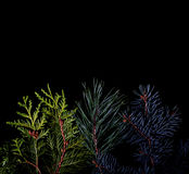Pine and spruce branches on dark black background Royalty Free Stock Images