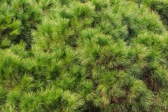 Pine, spruce parts of tree. Fresh plant, conifer with needles. Nature background, close up view. Royalty Free Stock Images
