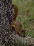 Pine Squirrel Royalty Free Stock Images