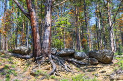 Pine on the steep sandy shore Royalty Free Stock Image