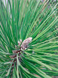 Pine stem close-up Stock Images