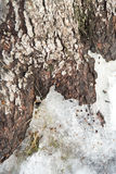 Pine Stem with Ice Stock Photo