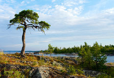 Pine on stone coast Royalty Free Stock Images