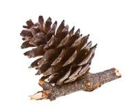 Pine strobile isolated on white Royalty Free Stock Photos