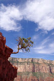 Pine struggling to survive in the Grand Canyon Stock Image