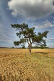 Pine on stubble field Royalty Free Stock Image