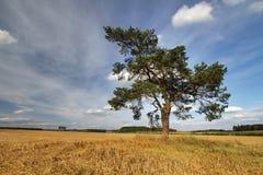 Pine on stubble Stock Image