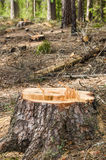 Pine stump after deforestation Stock Image