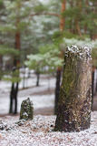 Pine stump in forest Royalty Free Stock Photo