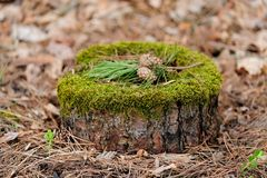 Pine stump with moss, pine needles and cones Stock Images