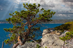 Pine in the sun Stock Photography