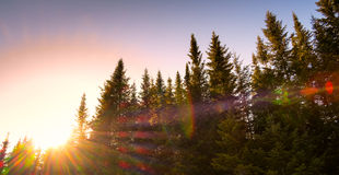Pine and sun landscape Stock Images