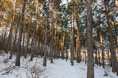 Pine sunlight forest, winter. Pine forest, winter in Crimea Stock Images