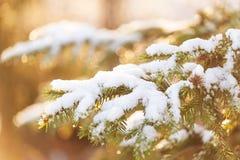Pine täckte med snö på solnedgång arkivbilder