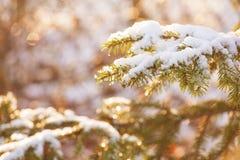 Pine täckte med snö på solnedgång royaltyfri foto