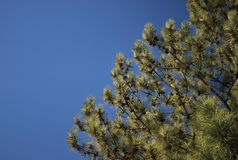 Pine. Tashkent city Uzbekistan nearby the japan garden Royalty Free Stock Image