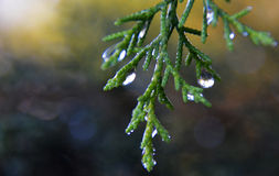 Pine tears Royalty Free Stock Photography