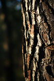 Pine texture. With sunset light from the left Stock Photos