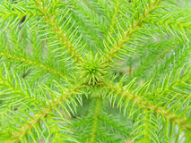 pine texture background Stock Photography