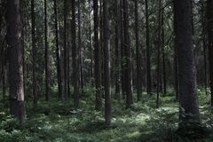 Pine thicket. Forest thicket, pine trees in the forest. Saint Petersburg region Russia, Toksovo. Dark creepy pine forest. Mystic s. Pooky deep evergreen woods stock images
