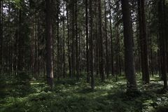 Pine thicket. Forest thicket, pine trees in the forest. Saint Petersburg region Russia, Toksovo. Dark creepy pine forest. Mystic s. Pooky deep evergreen woods royalty free stock image