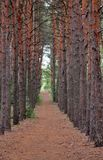 Pine thicket stock images