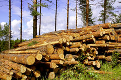 Pine Timber in Forest Royalty Free Stock Image