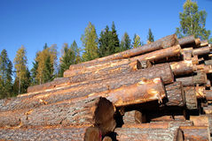 Pine Timber Logs Stacked in Autumn Forest. Stacked pine logs with autumn forest and blue sky as background. Photographed in Marttila, Finland September 26, 2010 Royalty Free Stock Photography