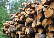 Pine Timber Logs Stacked for Collection Stock Image