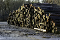 Pine timber stacked et forest Stock Images
