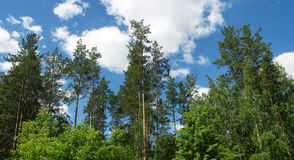 Pine tops against blue sky. Panorama Stock Photography