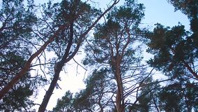 Pine tops sway wind against the sky, winter pine forest. Pine tops sway wind against sky, winter pine forest stock video footage
