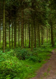 Pine trail. Pine forest of great Britain Stock Photography