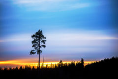 Pine tre on evening sky Stock Photos