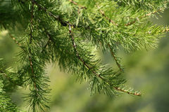 Pine tree 1 Royalty Free Stock Image