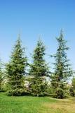 Pine Tree. Three pine three on the blue sky and green grass Stock Photo