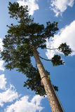 Pine tree. A pine stand under the blue sky and white clouds Royalty Free Stock Image