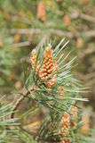 Pine tree Royalty Free Stock Photography