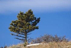 Pine Tree Stock Images