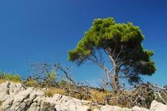 Pine tree. On coast of mediterranean island of Lastovo on blue background stock photos