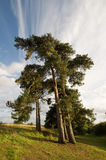Pine tree. S on a hill stock photography
