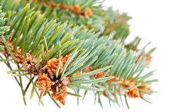 Pine-tree. Christmas tree decoration on the pine tree Royalty Free Stock Images