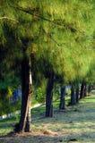 Pine tree. Landscape of pine casuarina trees Stock Photos