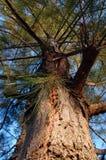 Pine tree. Landscape of pine casuarina trees Stock Image