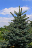 Pine Tree. On blue sky background Royalty Free Stock Photos