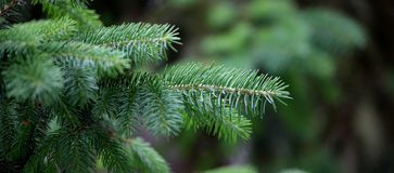 Pine tree. Detail of pine tree branch Royalty Free Stock Photo