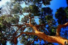 Free Pine Tree Stock Photos - 27120673