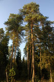 Pine-tree. On the autumn sunbeams Royalty Free Stock Images